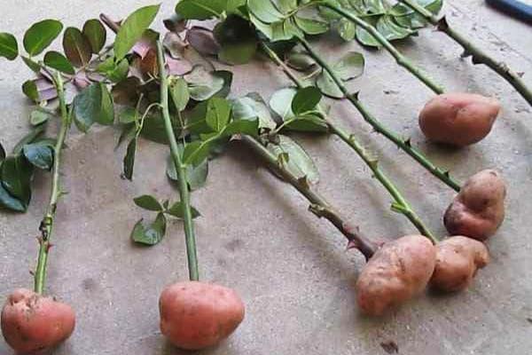 Укоренение черенков роз в картошке