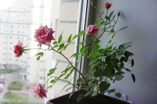 Цветение розы на подоконнике
