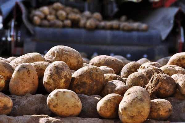 Немытый картофель
