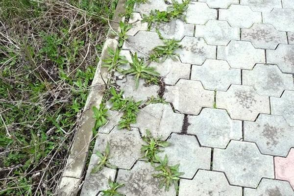 Трава в швах тротуарной плитки