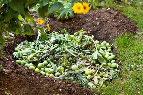 Яблоки в компостной яме