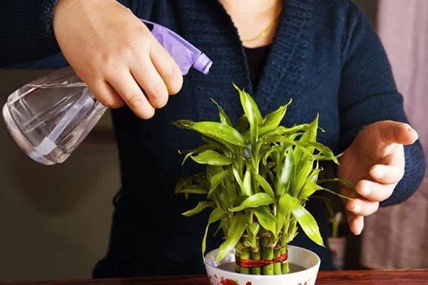 Опрыскивание комнатного растения