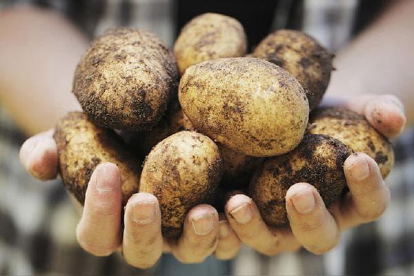 Картофель в руках у девушки