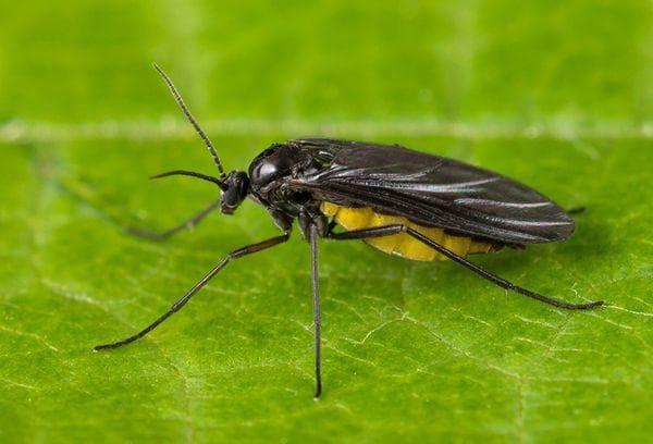 Сциариды (грибной комарик).