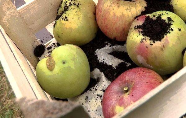 Яблоки в земле хранение