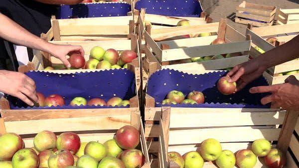 Сбор и сортировка яблок