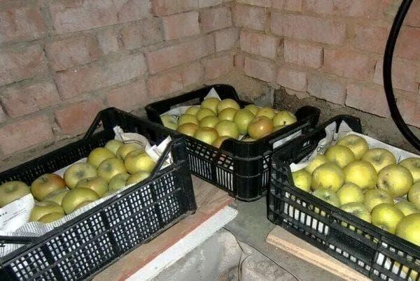 Ящики с яблоками в погребе