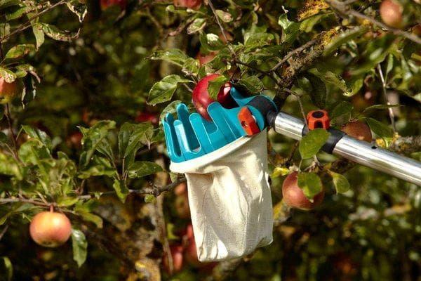 Снятие яблок с дерева