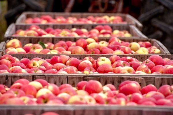 Плодохранилище для яблок