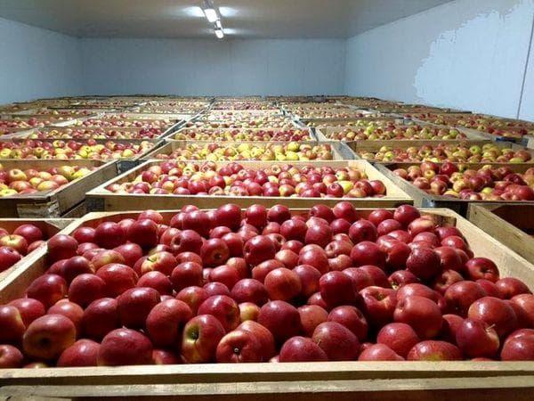 Оптимальные условия хранения яблок