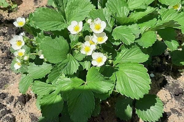 Цветение клубники – 5 важных дел для хорошего урожая