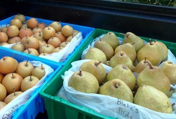 Правила сбора и подготовки груш к хранению на зиму