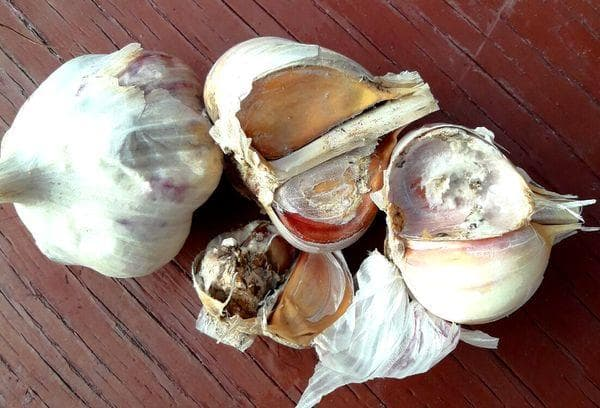 Поражение чеснока грибком, плесенью