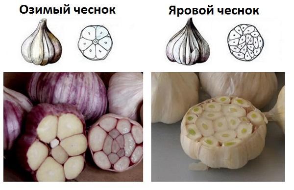 Отличия озимого чеснока от ярового